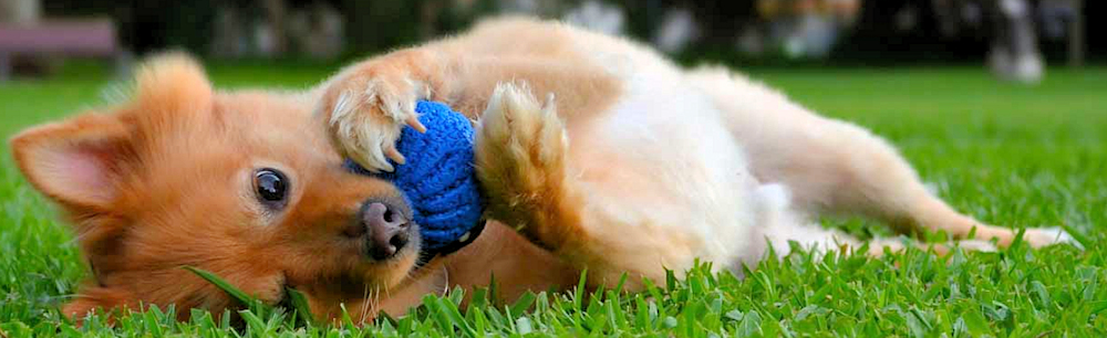 Small dog laying on side with ball in hands